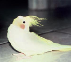 Young cockatiel with dorsiflexion of the neck from opisthotonos.